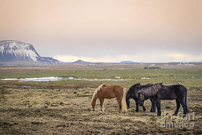Iceland Horse Wall Art - Photograph - Kings Of The Nordic Twilight by Evelina Kremsdorf