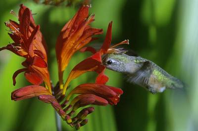 Birds Living In Nature Photograph - Kiss Of A Humming Bird by Jeff Swan