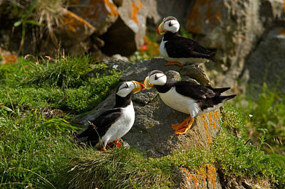 Photograph - Kissing Puffins by Shari Sommerfeld