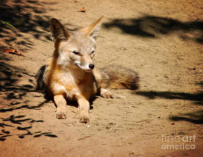 Photograph - Kit Fox On Campus by Meghan at FireBonnet Art