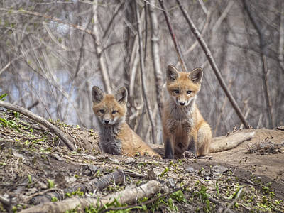 Kit Foxes 2011-1 Art Print by Thomas Young