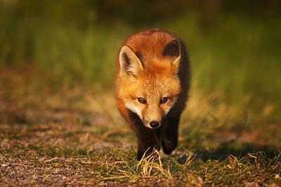 Photograph - Kit On The Prowl by Mark Kiver