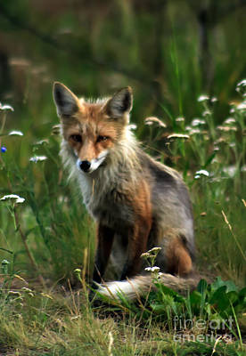 Kit Red Fox Print by Robert Bales