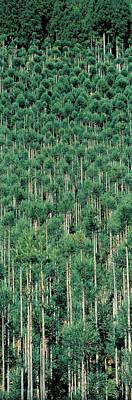 Kitayama Cedar Trees Kyoto Japan Art Print by Panoramic Images