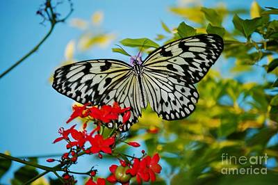 Photograph - Kite Butterfly by Peggy Franz
