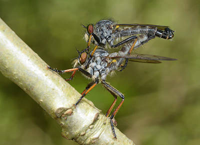 Two Tailed Photograph - Kite-tailed Robberflies Mating by Nigel Downer