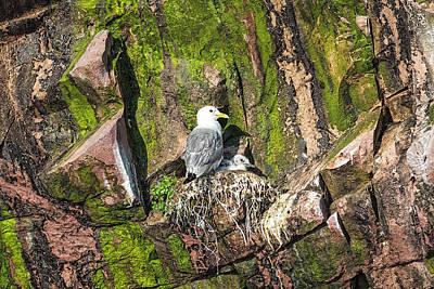 Photograph - Kitiwake And Chick 1 by Perla Copernik