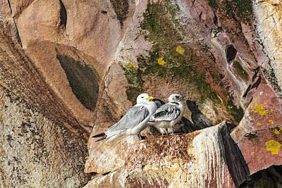 Photograph - Kitiwake And Chick 2 by Perla Copernik