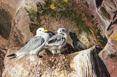 Photograph - Kitiwake And Chick 3 by Perla Copernik
