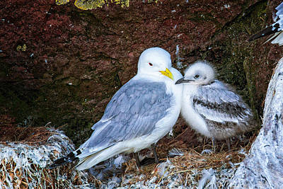 Photograph - Kitiwake And Chick 4 by Perla Copernik