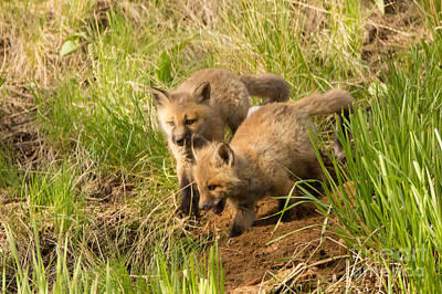 Fox Photograph - Kits by Natural Focal Point Photography