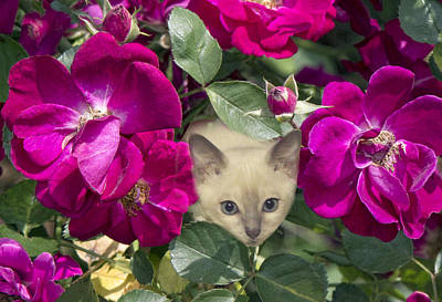 Tonkinese Cat Photograph - Kitten Among Pink Roses by Linda Phelps