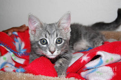 Photograph - Kitten And Blanket by Debra Thompson