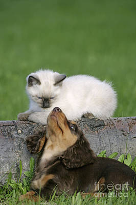 Photograph - Kitten And Puppy Playing by Rolf Kopfle