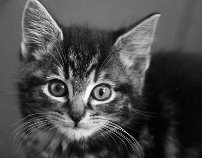 Kitten Art Print by Chris Whittle