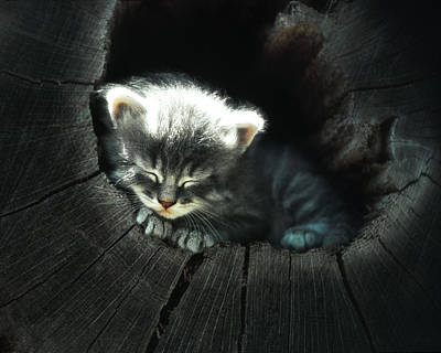 Photograph - Kitten In A Log by June Jacobsen