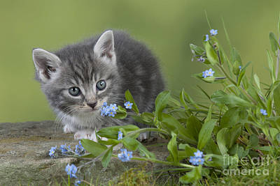 Gray Tabby Photograph - Kitten In Flowers by John Daniels