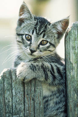 Kitten On Fence Art Print