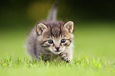 Photograph - Kitten Sneaking Up by Kim Partridge/partridge-petpics