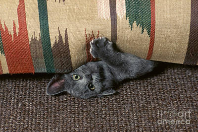 Kitten Under Couch Art Print by James L. Amos