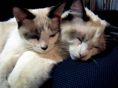 Photograph - Kittens Brother And Sister by Michele Avanti