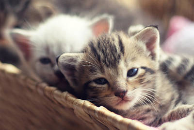 Of Cats Photograph - Kittens In A Basket by Amy Tyler