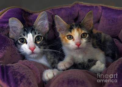 Gray Tabby Photograph - Kittens In A Purple Bed by Catherine Sherman