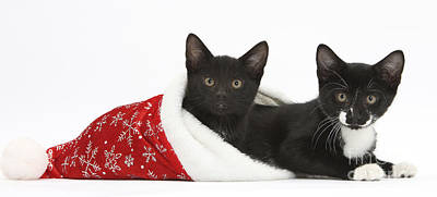 House Pet Photograph - Kittens In Christmas Hat by Mark Taylor