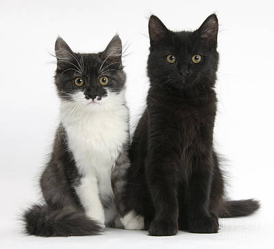 House Pet Photograph - Kittens Sitting by Mark Taylor