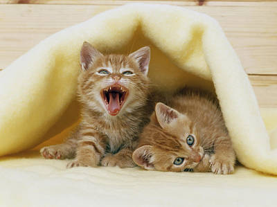Kittens Under A Blanket Art Print