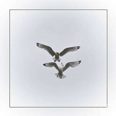 Zoologic Photograph - Kittiwakes Dancing In The Air by Heiko Koehrer-Wagner