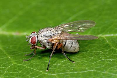 Kleptoparasitic Fly Art Print by Nigel Downer