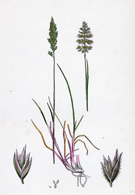 Botanica Drawing - Kleria Cristata Crested Hair-grass by English School