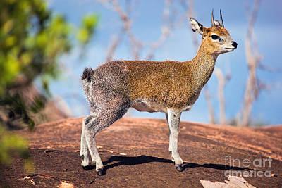 Africa Photograph - Klipspringer On Rock. Serengeti. Tanzania. Africa by Michal Bednarek