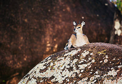 African Photograph - Klipspringer On Rocks. Serengeti. Tanzania In Africa by Michal Bednarek