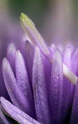 Nigra Photograph - Knapweed Flower by Karl Gaff