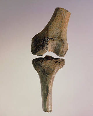 Knee Joint Of Australopithecus Afarensis Art Print by John Reader/science Photo Library