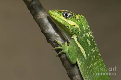 Photograph - Knight Anole by Meg Rousher