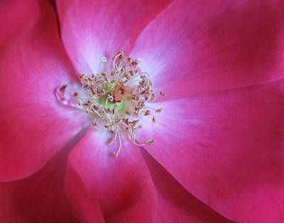 Photograph - Knock Out Rose by David and Carol Kelly