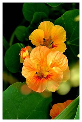 Photograph - Knock Shrine Nasturtiums by Frank Wickham