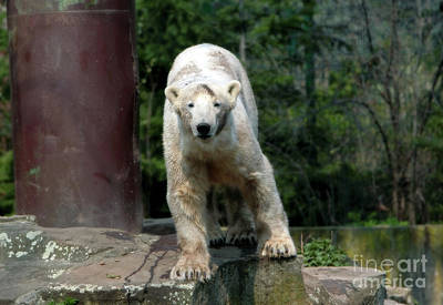 Photograph - Knut by John Rizzuto