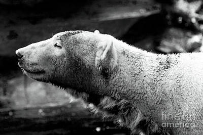 Photograph - Knut Profile by John Rizzuto