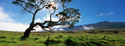 Koa Tree On A Landscape, Mauna Kea, Big Art Print by Panoramic Images