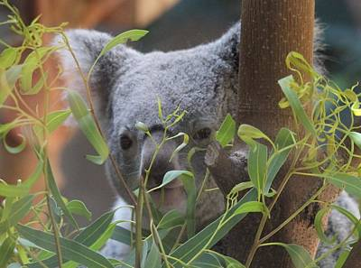 Koala Photograph - Koala Bear  by Dan Sproul