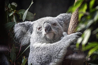 Marsupial Photograph - Koala Bear by Tom Mc Nemar