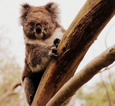 Photograph - Koala Dude by A K Dayton