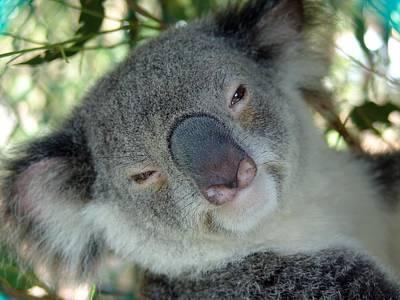 Koala Face Original by Ian Mcadie