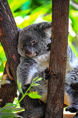 Photograph - Koala by Harry Spitz