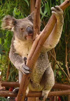 Koala  Art Print by Laura Hiesinger