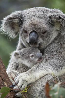 Photograph - Koala Mother Holding Joey Australia by Suzi Eszterhas